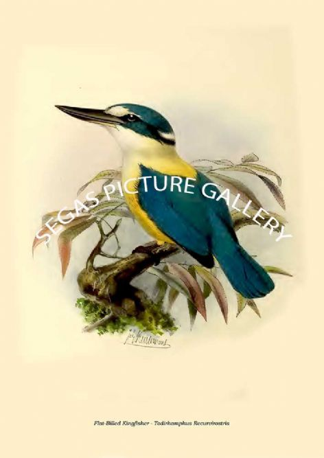 Fine art print of the Flat-Billed Kingfisher - Todirhamphus Recurvirostris by  the artist Johannes Gerardus Keulemans (1868-1871)